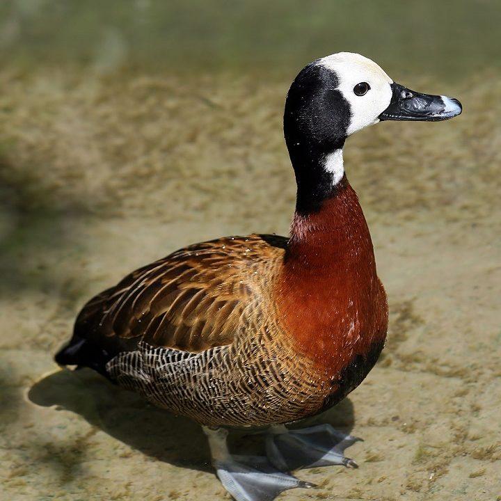 اردک سوت زن صورت سفید