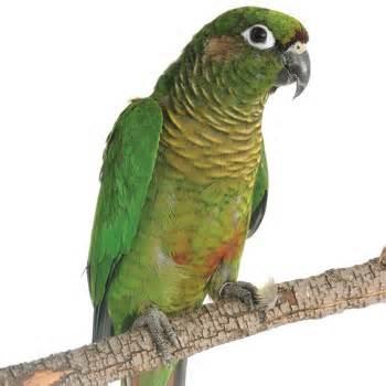 کانور گونه سبز